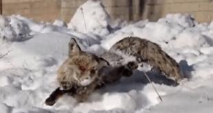 انجماد روباه در ترکیه
