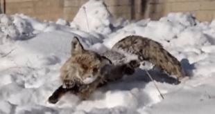 یخ زدگی یک روباه در ترکیه