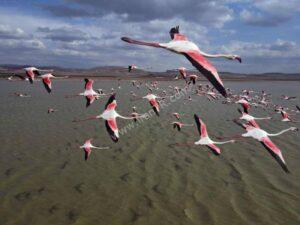 پرواز فلامینگوها در آنکارا